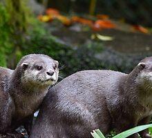 Otter Couple by InterestingImag