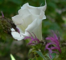 Moonflower, or Sacred Datura by Navigator