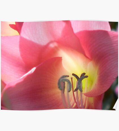 Pink Sword Lily (Gladiola) Poster