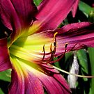 Oh Lily © by Dawn M. Becker
