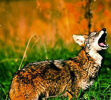 Coyote Howl  by Miles Moody