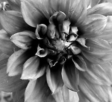 Dahlia -  B&W  ^ by ctheworld