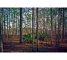 Pine Forest #2. Split Oak. Photographic Print