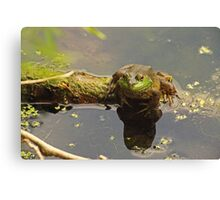 Frog February Canvas Print
