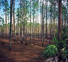 Pine Forest #3. Split Oak. by chris kusik