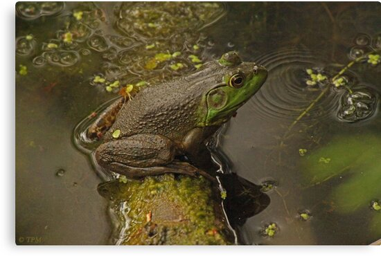 Frog September by Thomas Murphy