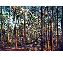 The Split Oak. Photographic Print