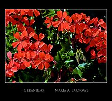 Geraniums - - Posters & More by Maria A. Barnowl