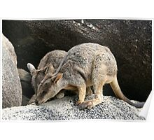 Rock Wallabies Poster
