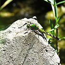 Female Eastern Pondhawk by Ron Russell