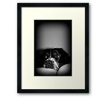 Sheldon the Springer Spaniel Framed Print