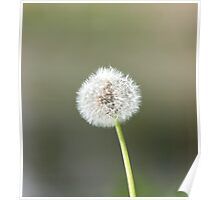 one big fluffy dandelion Poster