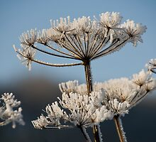 Haw frost on a seed head. by sandyprints