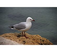 seagull on the rocks Photographic Print