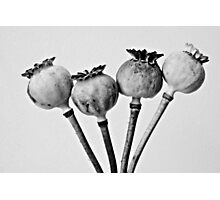 Poppy pods Photographic Print