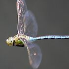 dragonfly in flight by griffithsphill