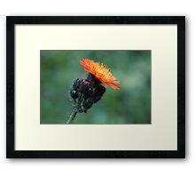 Black & Orange Hawkweed Framed Print