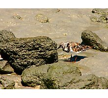 Ruddy Turnstone Portrait #1. Sebastion Inlet. Photographic Print