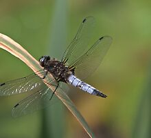 Broad-Bodied Chaser by Lauren Tucker