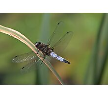 Broad-Bodied Chaser Photographic Print
