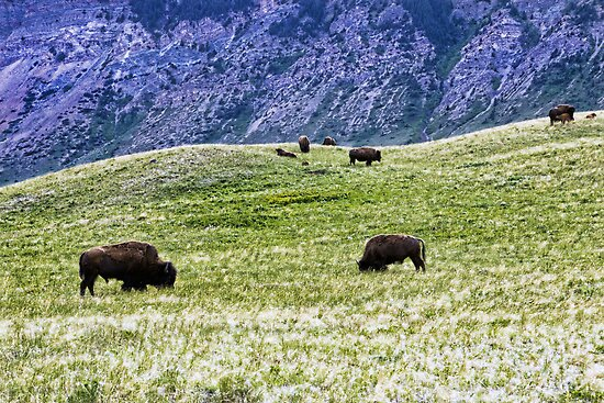 Where The Buffalo Roam by Angela E.L. Clements
