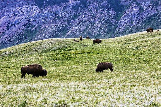 Where The Buffalo Roam by Angela E.L. Clements