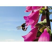 The Foxglove Forager Photographic Print