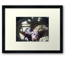 Babby blue jays Framed Print