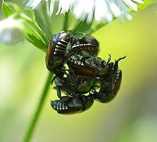 Japanese Beetles Mating by William Brennan
