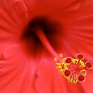 Hibiscus by Maggie Hegarty