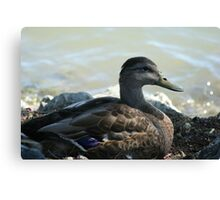 Not the average duck Canvas Print