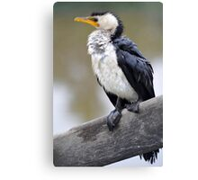 Australian Pied Cormorant. Keysborough Wetlands, Victoria. Canvas Print