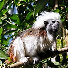 Cotton Top Tamarin by Sandra Chung