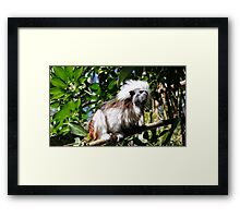 Cotton Top Tamarin Framed Print