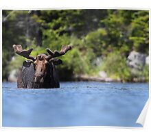 North American Hippo Poster