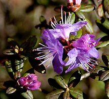 Lavender Blossoms by Maria A. Barnowl