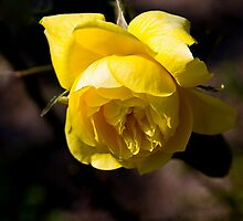 Yellow Rose - - Cards by Maria A. Barnowl