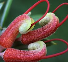 Grevillea tripartita subsp. macrostylis by andrachne