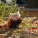 Red Panda Baby by Jan Cartwright
