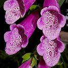 hot pink foxglove by dedmanshootn