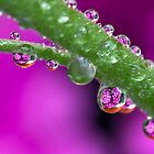 Chrysanthemum flower drops. by MickBourke