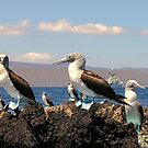 Blue Footed Boobies by globeboater