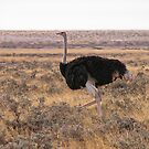 Ostrich by globeboater