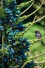 Honeyeater on Blue Puya by yolanda