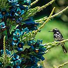 Honeyeater on Blue Puya by yolanda