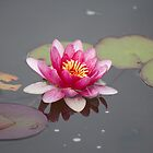 Water Lily by Gill Langridge