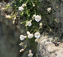 Simply Sea Campion by Anne Gilbert