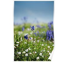 Bluebells in Sea Campion Poster