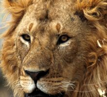 Cat: Large Male Lion Looking Intently as He Comes Out of the Bush, Maasai Mara, Kenya  Sticker