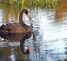 Black Swan At Keysborough Wetlands, Victoria, Australia.  by Ralph de Zilva